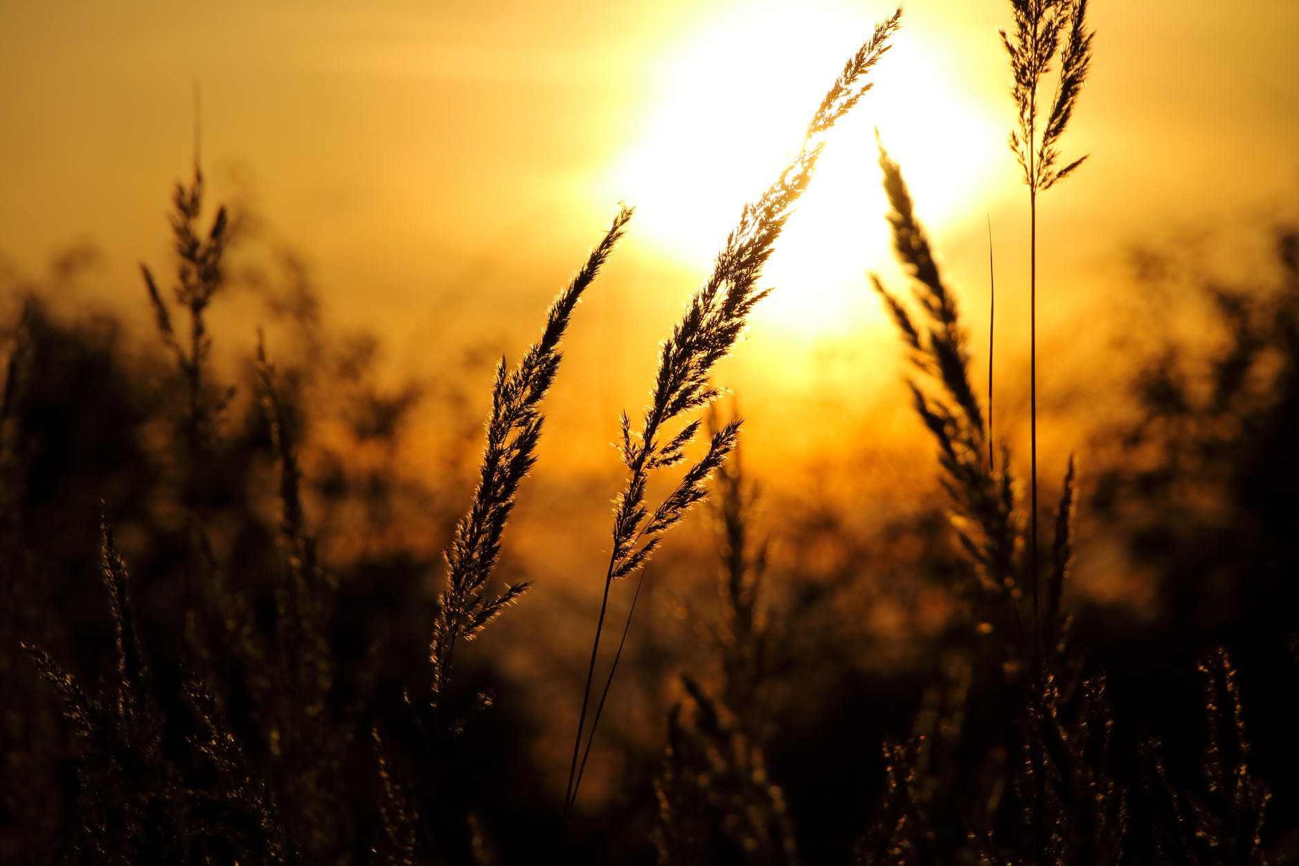 close up of wheat field against sky at sunset